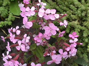 How to Make Organic Herbal Soap Using Soapwort