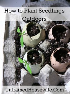 How to Plant Seedlings Outdoors