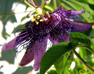 PassionFlower1