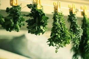 Harvesting and Preserving Herbs