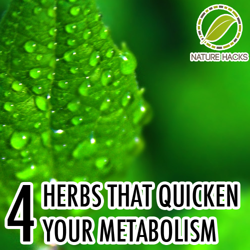 4 Herbs That Speed Up Metabolism & Aid Weight Loss