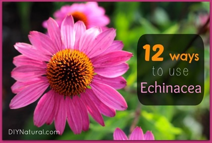 The Benefits of Echinacea and 12 Ways To Use It