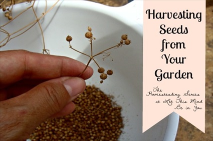 Harvesting Seeds from Your Garden and Harvesting Coriander