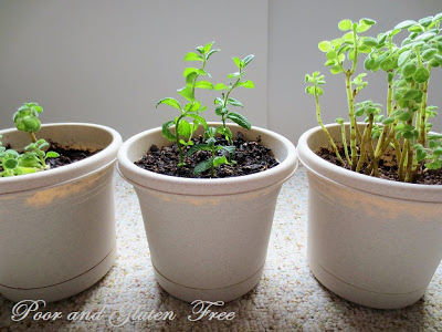 How to Take Cuttings to Propagate Mint and Cuban Oregano