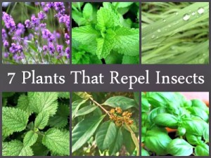 7 Plants That Repel Insects