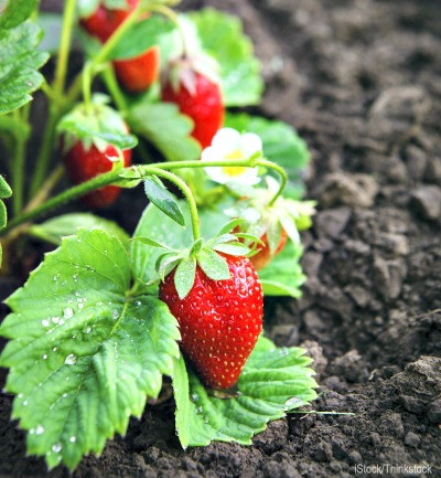 5 Ways to Prep Soil for Better Berries
