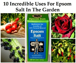 10 Incredible Uses for Epsom Salt in the Garden Herbs