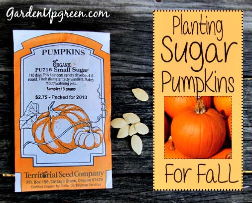 How to Plant Sugar Pumpkins for the Fall