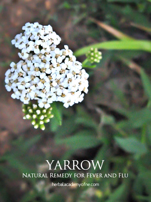 Yarrow as a Natural Remedy for Fever and Flu