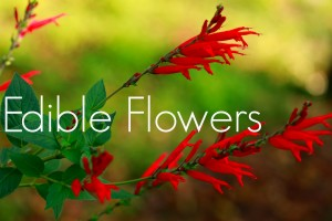 Edible Flowers - Pineapple Sage