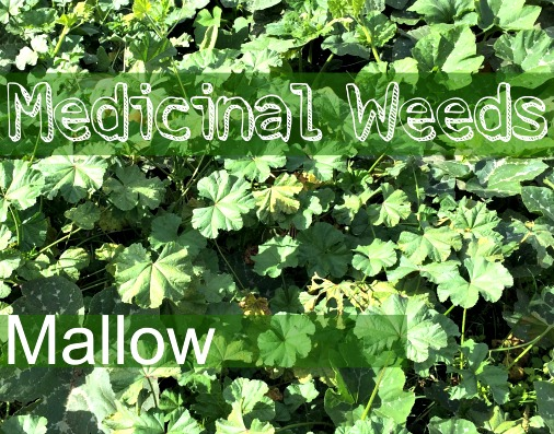 Mallow - Eat Your Healing Weeds