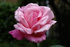 How to Deadhead Roses