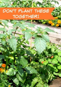 Companion Planting Part 2  – Don't Plant These Plants Together Too