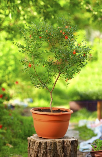 Tips On Growing A Pomegranate In A Pot