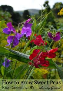 Tips on growing Sweet Peas (Flowers)
