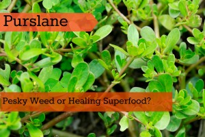 Purslane: Pesky Weed or Healing Superfood?