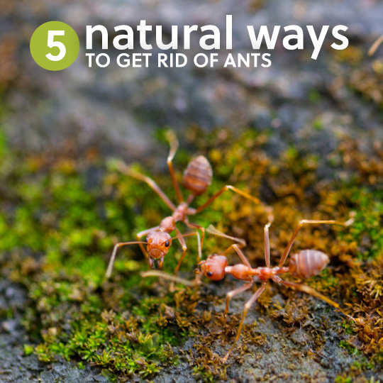 5 Natural Ways to Get Rid of Ants