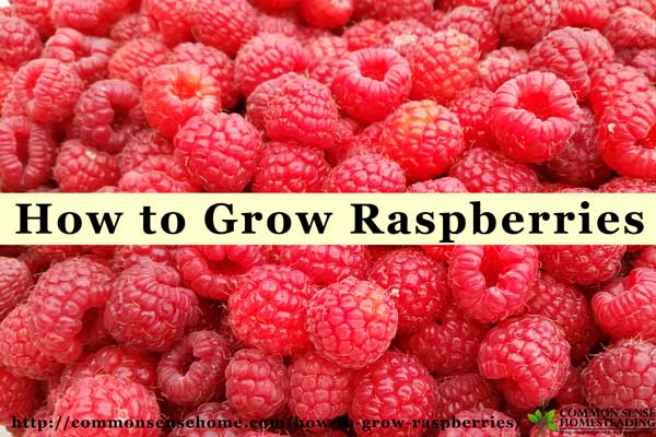 How to Grow Raspberries for Home Grown Fruit in Record Time