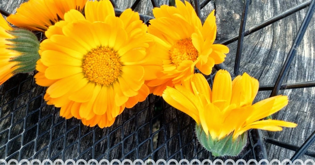 Strangers & Pilgrims on Earth: How to Identify Calendula {Pot Marigold vs. Common Marigold}
