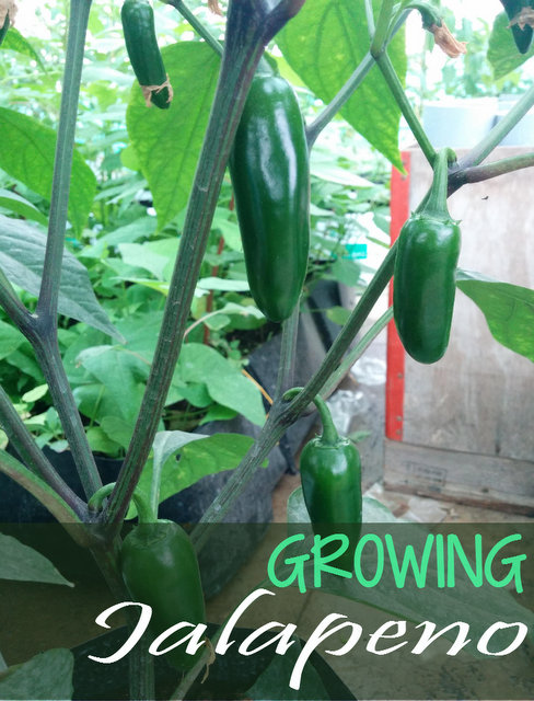 How to Grow Jalapeno Peppers